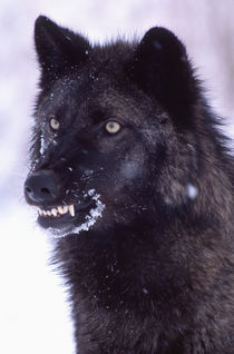 Black Timber Wolf Snarling Canus lupus Movie Animal, Utah by Danita Delimont