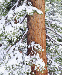 USA, California, Sierra Nevada Mountains. Fresh snow on red fir trees by Danita Delimont