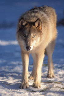 gray wolf, Canis lupus, in the foothills of the Takshanuk mountains by Danita Delimont