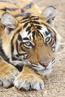 Portrait of Royal Bengal Tiger, Ranthambhor National Park, India. by Danita Delimont