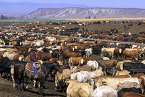 Cattle on a feedlot in Grandview, Idaho. by Danita Delimont