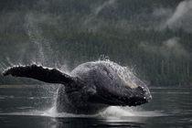 Breaching Humpback Whale, Alaska, Angoon von Danita Delimont