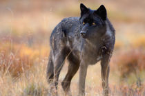 gray wolf, Canis lupus, on fall colors in Denali National Park by Danita Delimont