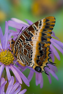 Sammamish Washington Tropical Butterflies photograph of Charaxes pollux by Danita Delimont