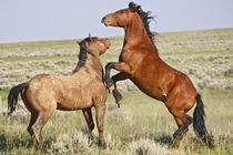 Feral Horse (Equus caballus) wild horses fighting von Danita Delimont