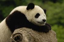 Giant panda baby (Ailuropoda melanoleuca) Family von Danita Delimont