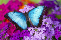 Tropical Butterfly photograh of a male Morpho peleides,United States by Danita Delimont
