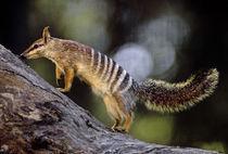 Numbat, Myrmecobius fasciatus, Western Australia by Danita Delimont