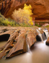USA, Utah, Grand Staircase-Escalante NM, Fall cottonwood trees in Coyote Gulch by Danita Delimont