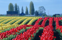Rows of undulating red and yellow tulips in a rural Skagit county by Danita Delimont