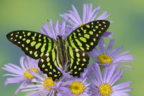 Sammamish Washington Photograph of Butterfly on Flowers,United States von Danita Delimont