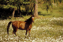N.A., USA, Oregon Horse in field of daisies by Danita Delimont