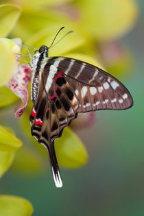 Sammamish Washington Tropical Butterflies photograph of Graphium colonna by Danita Delimont