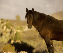 Wild Mustang stallion, Wheeler Peak herd, Cold Creek Road by Danita Delimont