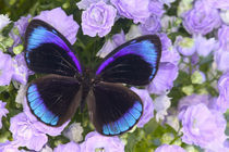 Sammamish Washington Photograph of Butterfly on Flowers, Eunica alcmena flora by Danita Delimont