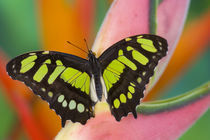 Sammamish, Washington Tropical Butterfly Photograph of Siproeta stelenes by Danita Delimont