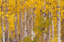 Autumn aspens in Kebler Pass in Colorado. von Danita Delimont