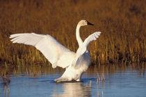 Whistling swan, Cygnus columbianus von Danita Delimont