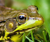 North America, USA, New Jersey, Far Hills, Leonard J. Buck Garden.  Green Frog. by Danita Delimont