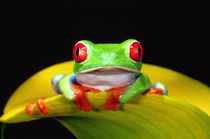 Red Eye Treefrog, Agalychinis callidryas, Native to Central America by Danita Delimont