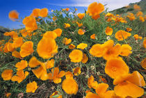 California poppies, Eschscholzia californica, Big Sur, California von Danita Delimont
