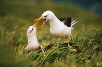 Black-browed albatrosses courting, South Georgia Island von Danita Delimont