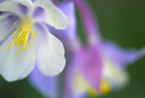 Closeup of Colorado Columbine flower. von Danita Delimont
