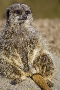Meerkat Laid Back by Tracy Arnold