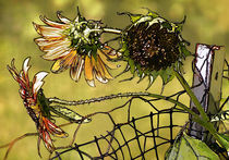 Sunflowers on a fence by Susan Isakson