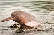Amazon River Dolphin by Leonide Principe