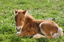 Shetlandpony Mini - Christiane Slawik by Christiane Slawik