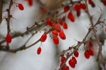 red berries in winter von ushkaphotography