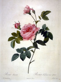 Rosa Inermis/Stich Redoute by AKG  Images