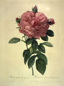 Rosa gallica flore giganteo/nach Redoute von AKG  Images