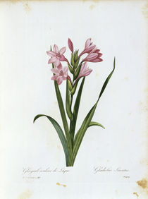 Gladiole / Redoute by AKG  Images