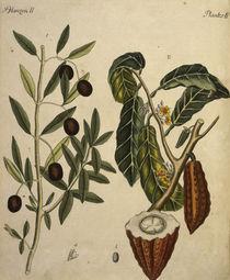 Kakaobaum und Oelbaum / Bertuch 1792 von AKG  Images
