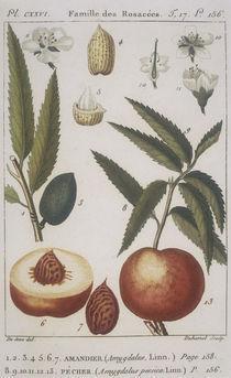 Botanik, Mandel u. Mandelpfirsich/Kupfst by AKG  Images