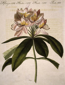 Rhododendron / aus Bertuch 1809 by AKG  Images