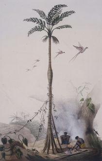 Kokospalme / nach J.B.Debret by AKG  Images