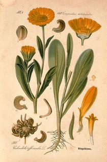 Ringelblume /aus: THome's Flora von ... von AKG  Images