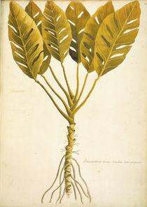 Dracontium / Ch.Plumier von AKG  Images