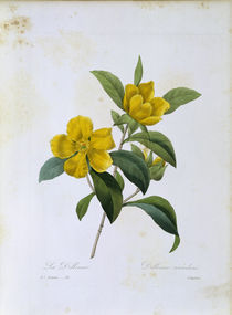 Rosenapfelbaum Dillenia scandens/Redoute by AKG  Images