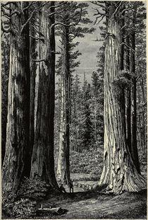 Yosemite National Park, Mammutbaeume von AKG  Images