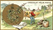 Hanf (Cannabis sativa) / Sammelbildchen von AKG  Images