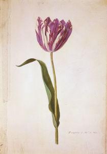 Tulpe / Miniatur von Nicolas Robert von AKG  Images