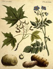 Zuckerahorn und Kartoffel / Bertuch 1796 von AKG  Images