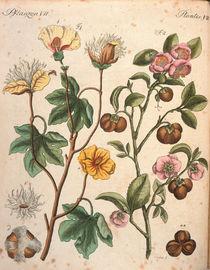 Baumwollbaum und Teestaude / Bertuch von AKG  Images
