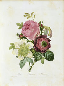 Rose, Anemoe, Klematis / Redoute von AKG  Images
