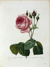 Salatrose / Redoute 1835, T.120 by AKG  Images
