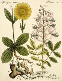 Arnika und Diptam / aus: Bertuch 1813 by AKG  Images